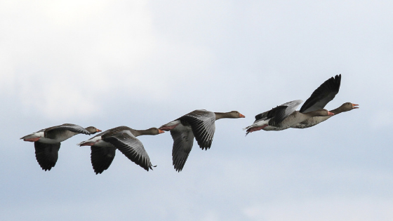 5 lessons for business and life from geese